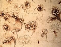 Leonardo da Vinci - Botanical studies