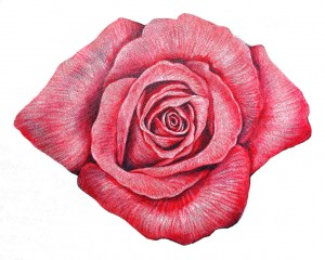 Rosa  — Paulo von Poser